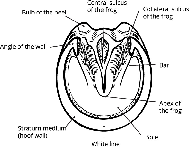 anatomy of the hoof_bottom
